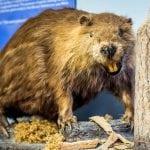 Beaver on Beaver Island